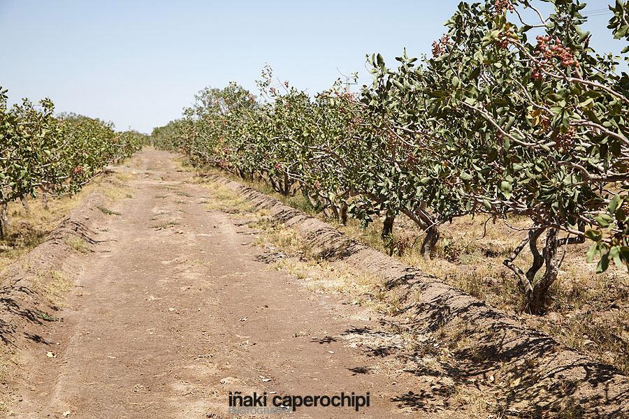 Plantaciones de Pistachos